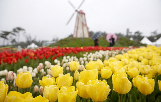 Taean tulip festival KTO
