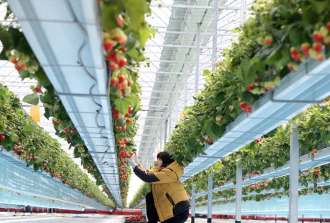 The agriculture ministry is hopeful that the move will help create more than 4,300 jobs over the next few years in the burgeoning smart farming industry. (Image: Yonhap)