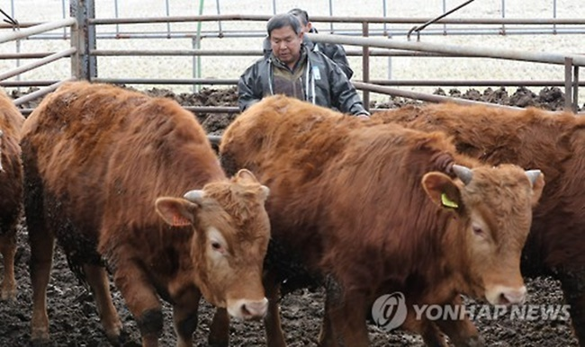 Up to 2,100 calves are estimated to perish due to a lack of cow's milk and the immunity-boosting nutrients in it, accounting for nearly 70 percent of all calves that die each year. (Image: Yonhap)
