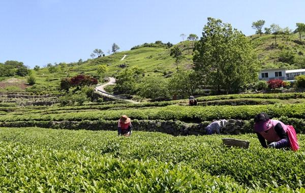 S. Korea's Hadong Named FAO Agricultural Heritage System for Tea-growing Method
