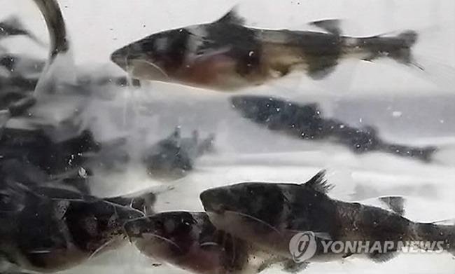 South Korean researchers are offering a bounty of 300,000 won for those who catch jongeo, a rare breed of fish thought to be living in the Geum River. (Image: Yonhap)