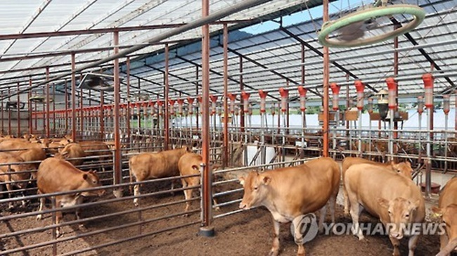 The city of Gyeongju has announced that it will open a colostrum bank in a bid to protect and nurture calves. (Image: Yonhap)