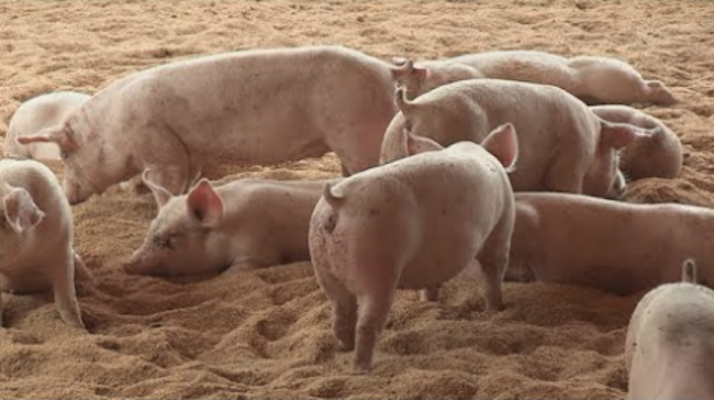 Number of Cattle, Pigs in S. Korea Up in Q1