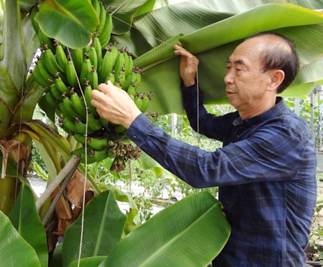 Being around 4,000 kilometers north of the equator hasn't stopped one South Korean paprika grower from succeeding at cultivating bananas, one of the most representative fruits of the tropics. (Image: Yonhap)