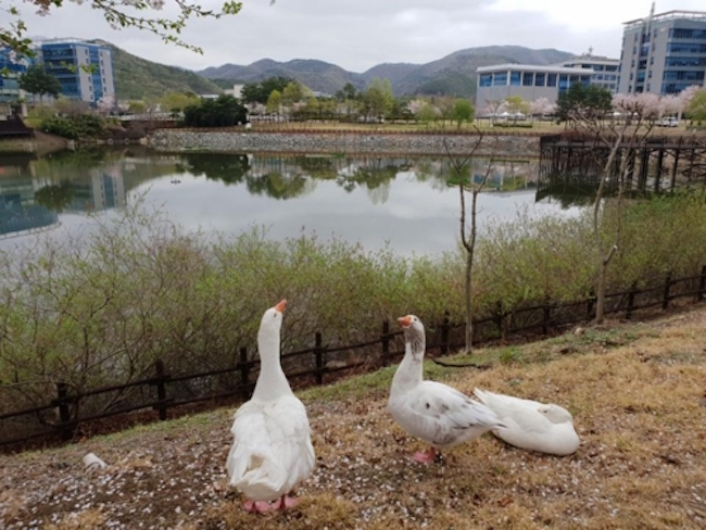 Removed from their home of seven years after the appearance of an unexpected predator, a family of geese are back where they belong on the campus grounds of UNIST, a science and technology research university located in the southeastern city of Ulsan. (Image: Yonhap)