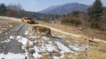 S. Korea to Open Asia's Largest Arboretum with Released Siberian Tigers Next Week