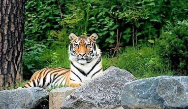 Asia's Largest Arboretum to Showcase Siberian Tigers