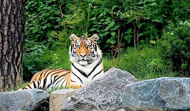 Asia's Largest Arboretum to Showcase Siberian Tigers