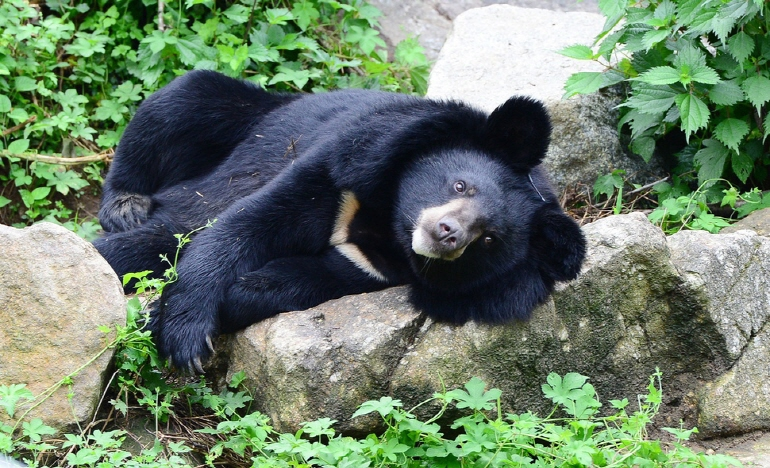 Sharing Natural Habitat with Moon Bears