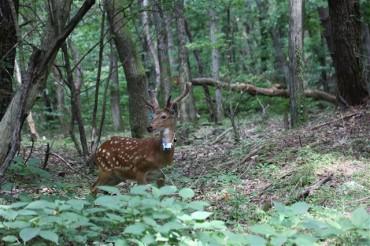 Foreign Deer Threaten Local Environment