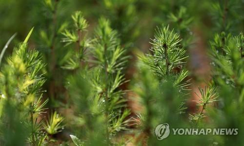 Pine tree seedlings in a tree nursery near the border with North Korea. (image: Yonhap)