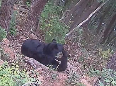 Asiatic Black Bear Gives Birth via Artificial Insemination