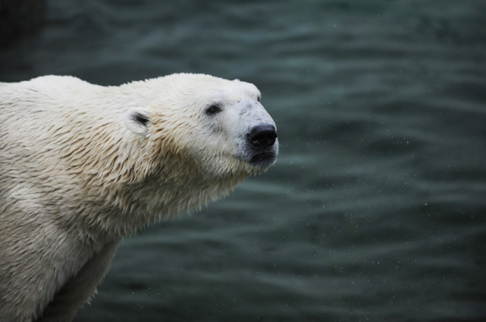 Only Remaining Polar Bear in S. Korea to Move to British Wildlife Park