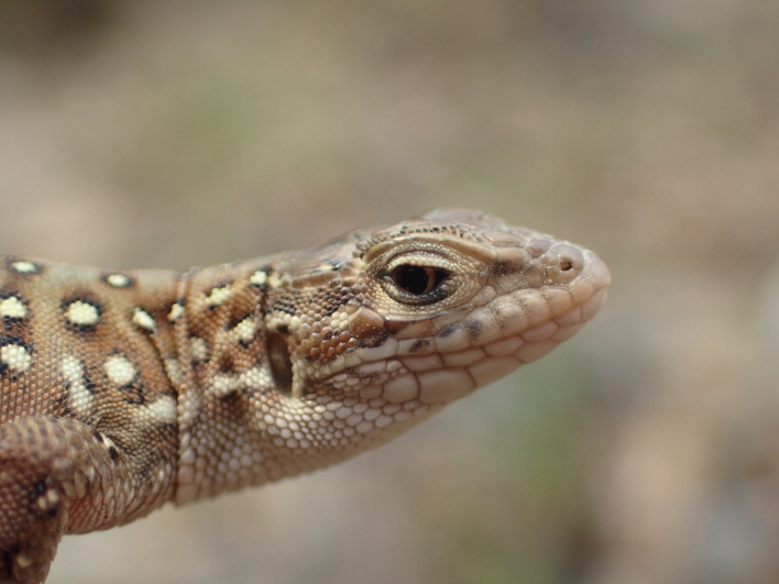 Mongolia racerunner. (image: National Institute of Ecology)
