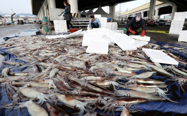 East Sea Squid Catches Plummet