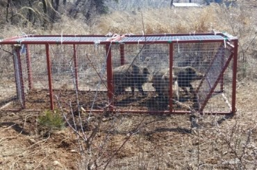 Gov't Develops Wild Boar Traps