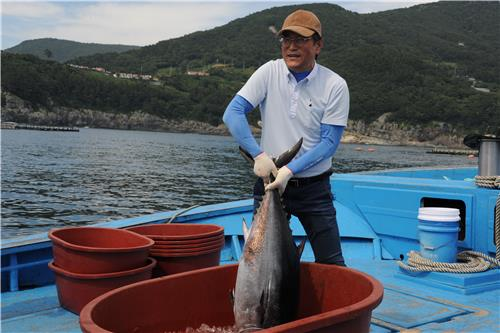 A fisherman catches a bluefin tuna farmed in waters off Tongyeong, 370 kilometers southeast of Seoul, on June 21, 2018, in this photo provided by the Ministry of Oceans and Fisheries. (Image courtesy of Yonhap)