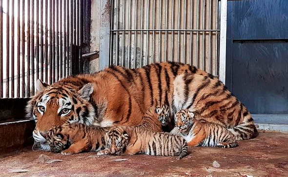 Four newborn Siberian tiger cubs together with their mother at Seoul Grand Park (Image Courtesy of Seoul Grand Park)