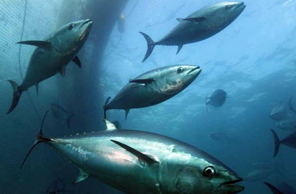 More and More Farm-bred Bluefin Tuna Available in S. Korea