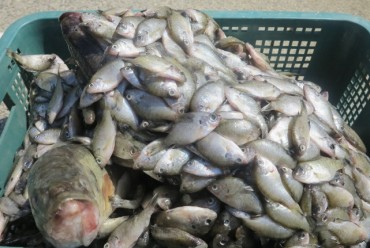 Government Buys 5.3 tons of Invasive Fish Species Caught in Daecheong Lake