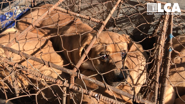 Caged dogs on South Korean dog meat farm. (image: Last Chance for Animals)