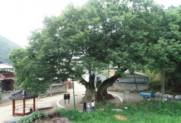 Historic Tree that Helped Freedom Fighters Withstands Heat Wave