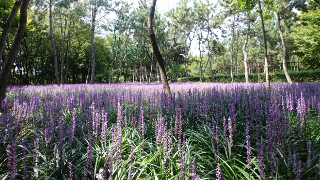 Waves of Purple Lily Turfs in Full Bloom at Ulsan Park