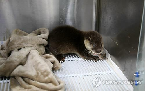 Series of Rare Otter Sightings Attributed to Improved Environment