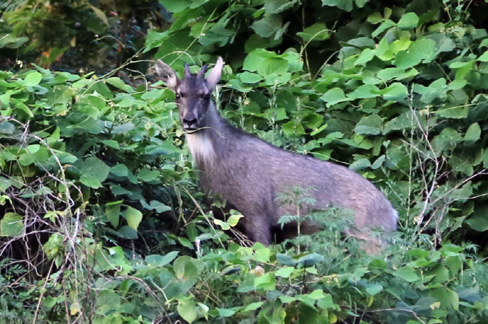 One More Endangered Wild Goat Found on Seoul Mountain: Ministry