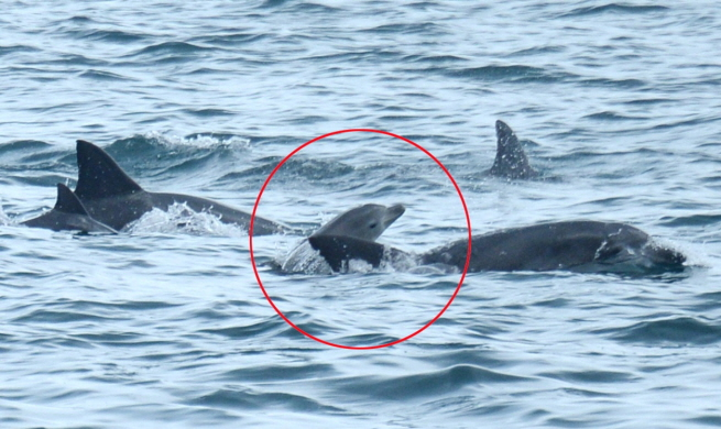 An Indo-Pacific bottlenose dolphin, Boksoon, swims with her calf (in red circle) in waters off Seogwipo on South Korea's largest island of Jeju on Aug. 20, 2018. (image: Research Team)