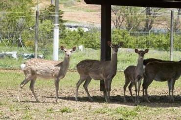 Villagers at Odds as Deer Run Wild on Remote Island