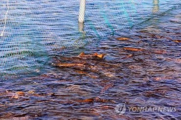 Salmon Return to Korean Shores to Spawn, Year's First Catch Reported in Daejin Port