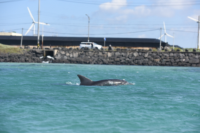 Dolphin Ventures into Jeju Fishery in Search of Food