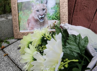 Citizens Mourn the Death of Pporongi the Puma