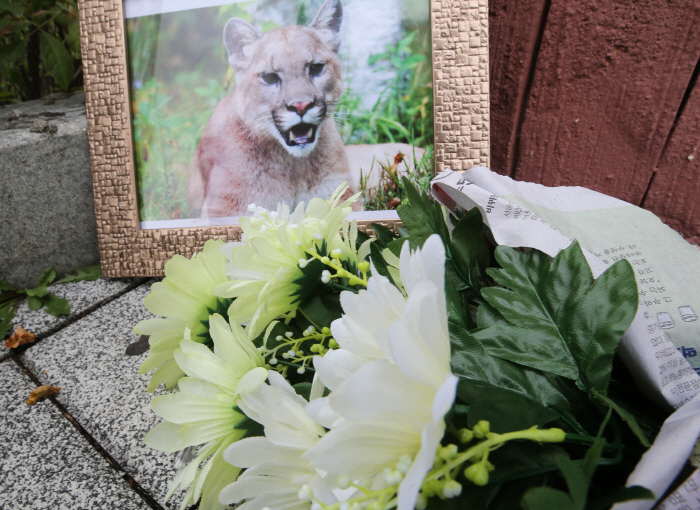 A framed photo of the puma alongside a bouquet of artificial white chrysanthemums and commemorative messages were found at the entrance to the zoo yesterday. (image: Yonhap)