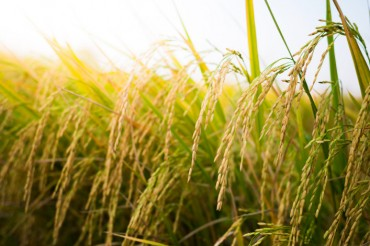 S. Korea's Rice Consumption Down Average 2.3 pct Annually over 3 Decades