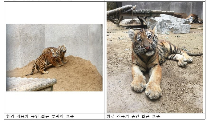 4 Siberian Tiger Cubs Shown to Public After Being Born in May