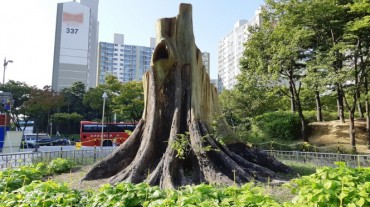 Monsoon-damaged 500-year-old Tree in Suwon Sprouting Buds with Aid from Officials