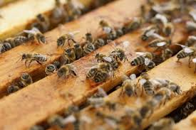 Scorching Summer Results in Fewer Bee Hive Reports
