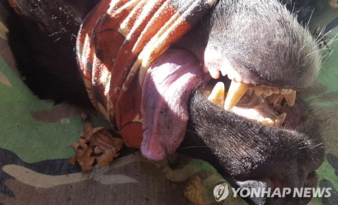 Officials decided to capture the bear once again after seeing an online video of the animal drinking a beverage from a plastic bottle. (image: Yonhap)