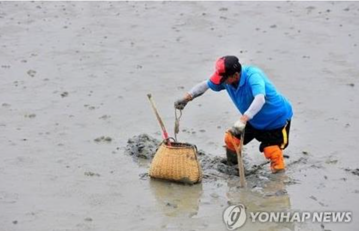 The impact of maternal care was significant. Compared to previous output, that is the number of octopus occupying the same area, the octopus population in the mud flats increased by a factor of 10. (Image courtesy of Yonhap)