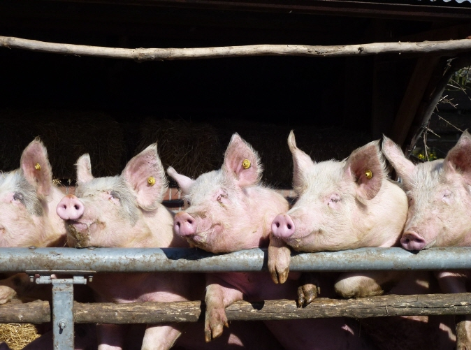 Alleged Brutal Killings of Piglets at Pig Farm Draw Animal Abuse Outcry