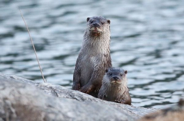According to the proposed project, otters would be released back into the wild within the Han River along with the creation of a suitable habitat. (image: Yonhap)