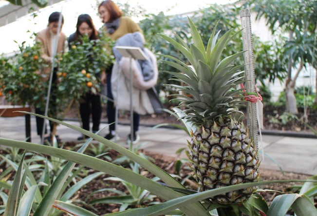 All Eyes on Yeongdong World Fruit Garden's Bananas and Pineapples