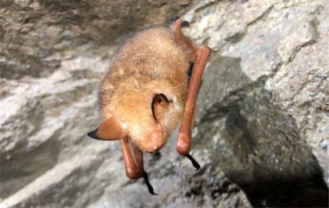 Rare Golden Bat Found in Gangwon Province