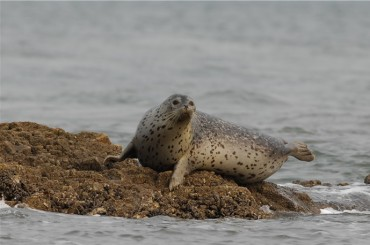 Spotted Seals Return to Baengnyeong Island After 10 Years