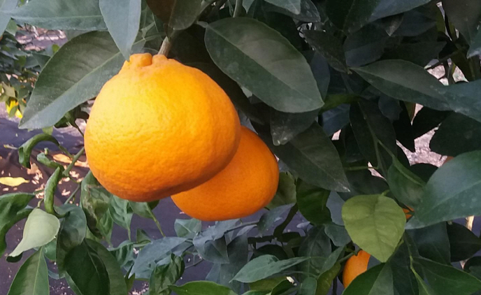 New Citrus Fruit Developed on Jeju Island