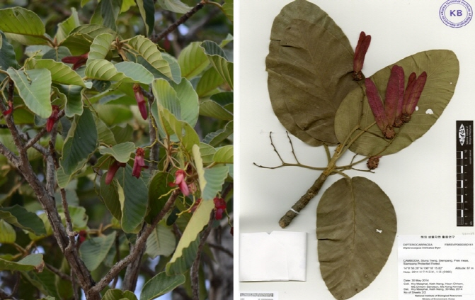 Dipterocarpus intricatus was first discovered by the National Institute of Biological Resources in the primeval forest in Cambodia in December 2015. (image: Ministry of Environment)