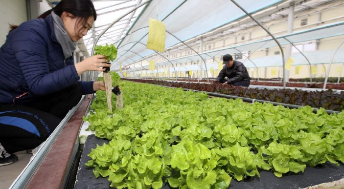Aquaponics, a combination of aquaculture and hydroponics, uses organic materials collected from fish farms to grow crops. (image: Taean County Office)