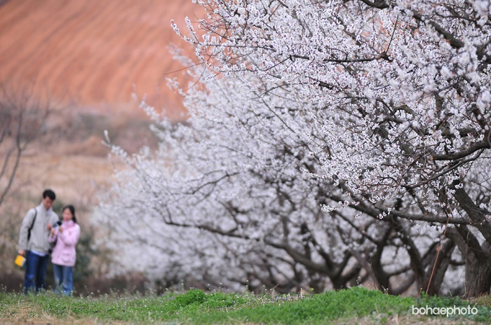 S. Korea's Largest Plum Farm to Host Flower Festival